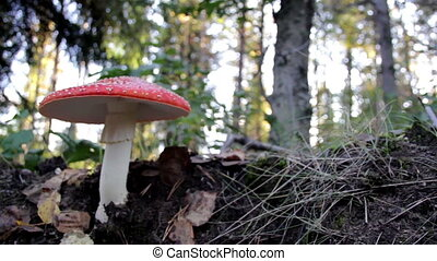 Growing Amanita Muscaria fly agaric mushroom in the forest