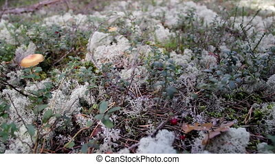 In the middle of the grassy area Reindeer lichen Cladina...