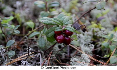 Up-close image of cherries and also small shrubs. You can...
