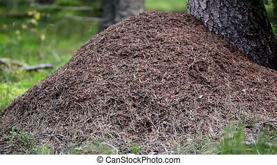 Anthill next to a big tree. There is a bulk on the ground...