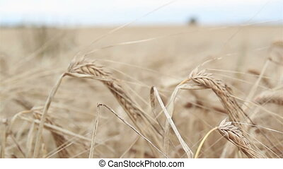 Closer image of a wheat stock