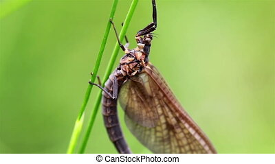 Closer image of the dragonfly that is attached to the grass...