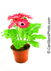Pink gerbera in a pot on a white background