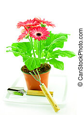 Pink gerbera in a pot with floriculture chopper and shovel