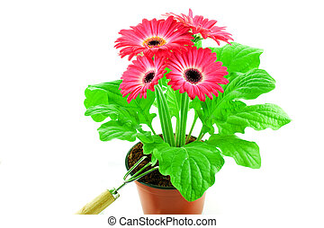 Pink gerbera in a pot with floriculture chopper
