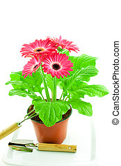 Pink gerbera in a pot with floriculture chopper and shovel...
