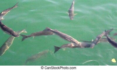 School of fish swimming fish farm - School of fish swimming...