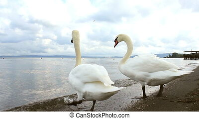 Lake swans - A clip with two swans that begin to swim in a...