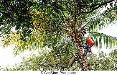 Tree trimmer on a palm tree - Tree cutter scales a tall palm...