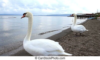 Lake swans 2 - A clip with a swan that looks around twisting...