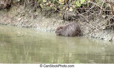 muskrat sitting by the lake