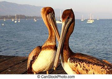 pelícanos,  California