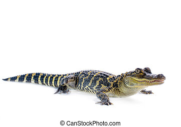 American Alligator - Young American Alligator on white...