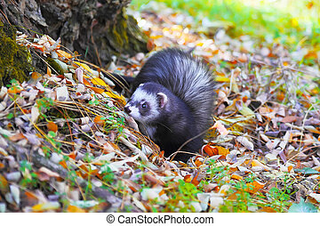 Ferret in yellow autumn leaves - Ferret play in yellow...