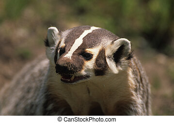 Badger - Close-up of a badger