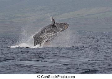 Humpback Whale - a humpback whale breaching