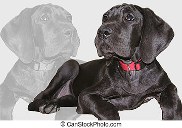 German mastiff - german mastiff montage