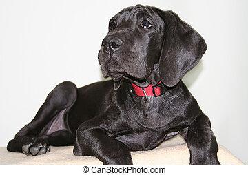 German mastiff - german mastiff 9 month