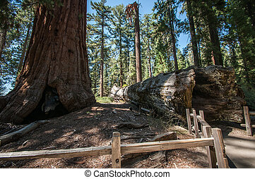bole Sequoia - bole in Sequoia national park