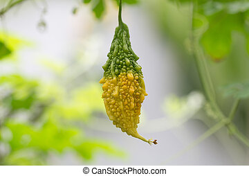 Balsam Apple