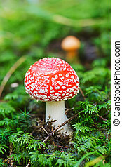 Poisonous mushroom - Close up photo of a poisonous mushroom...