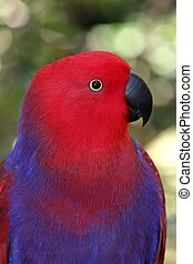 Parrot Bird - Strikingly pretty purple and red parrot with...