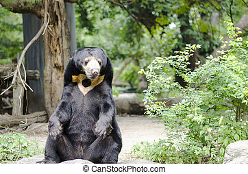 Malayan sun bear In Thailand zoo - Malayan sun bear In...