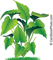 caladium - vector illustration of caladium leaves isolated...