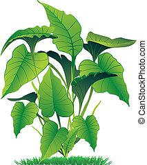 caladium - vector illustration of caladium leaves isolated...