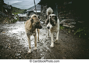 Funny sheep dogs in Ushguli, Svanetia green region in...