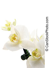 Orchid - Branch of white orchid