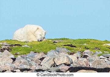 Polar Bear asleep on the grass