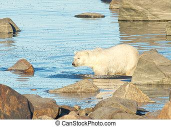 Polar Bear wading through water - Curious Canadian Polar...