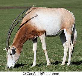 scimitar-horned oryx 3 - scimitar-horned oryx
