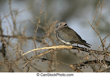 Ring-necked or Cape turtle dove - Ring-necked dove or Cape...
