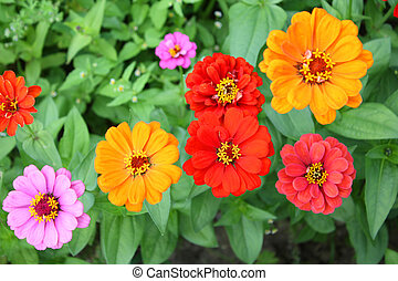 Zinnia flowers - Colorful Zinnia flowers in the garden. Top...