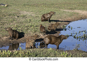 Capybara, Hydrochoerus hydrochaeris, group by water, Brazil...