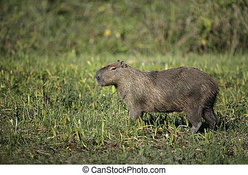 Capybara, Hydrochoerus hydrochaeris, single mammal on floor,...