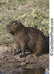 Capybara, Hydrochoerus hydrochaeris, single mammal by water,...