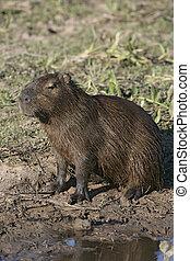 Capybara, Hydrochoerus hydrochaeris, single mammal by water,...