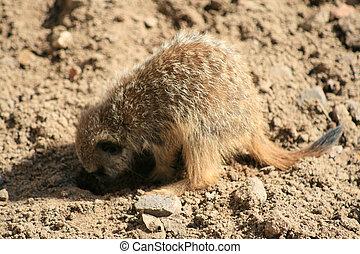 4,  Meerkat