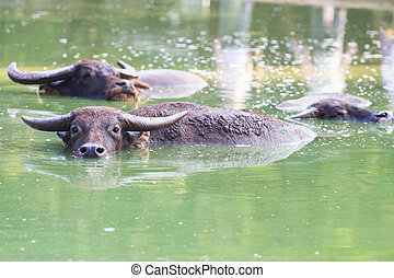 Buffalo - Water buffalo in a large pond in rural areas.