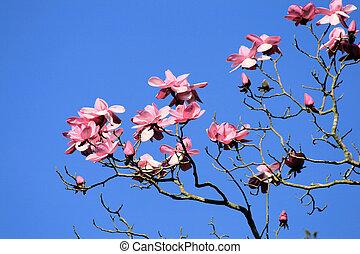 Magnolia tree - Pink Magnolia tree