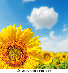 sunflower closeup on field and blue sky. soft focus on lower...