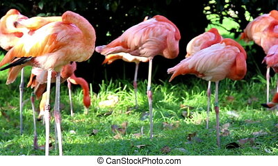 Group of flamingos standing on there one feet Research says...