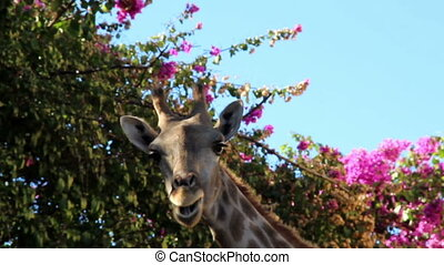 Giraffe chewing under a bougainvillea plant