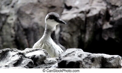 A bird hiding over a rock cautiously watching the...