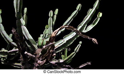 Close-up view of a dying cactus. Cactus stems can store...
