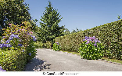Group of hydrangeas and green fences to sides the road