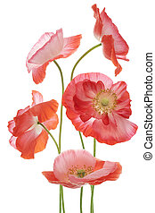 poppy - Studio Shot of Orange and Pink Colored Poppy Flowers...